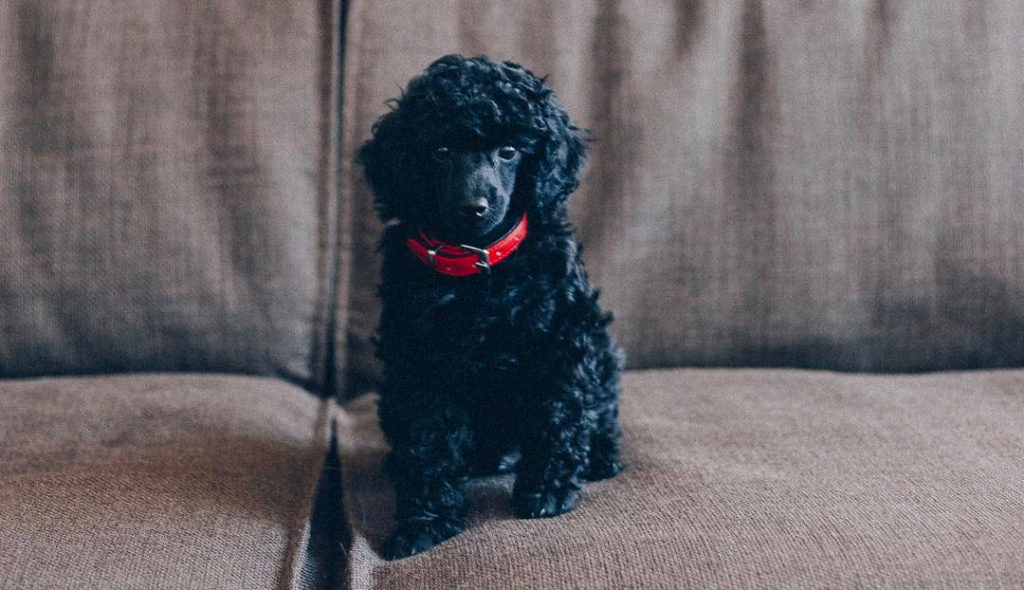Axel, the office poodle